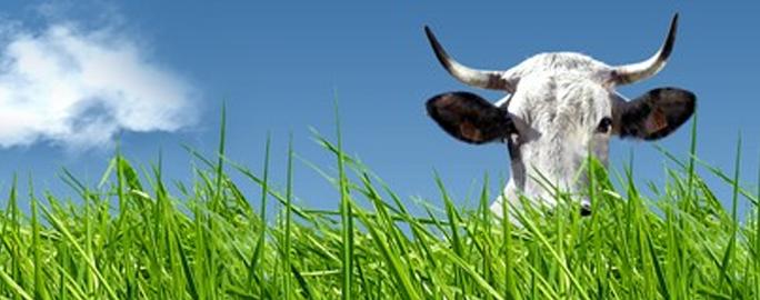 Vaca  Gascone Valentine Paris Salão da Agricultura 2012